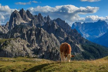 Kuh, Kühe auf einer Hochalm in den Dolomiten, Italien_003