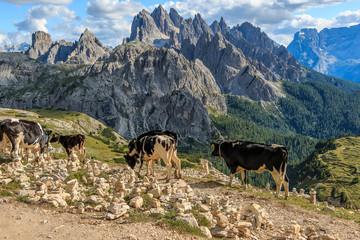 Kuh, Kühe auf einer Hochalm in den Dolomiten, Italien_002