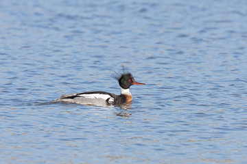 Red-breasted Merganser Floats on a Lake