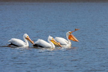 Three Pelicans, Led Into Boredom