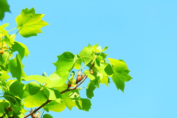 Green leaves on tree and blue sky in background