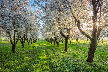 orchard of trees blooming cherries