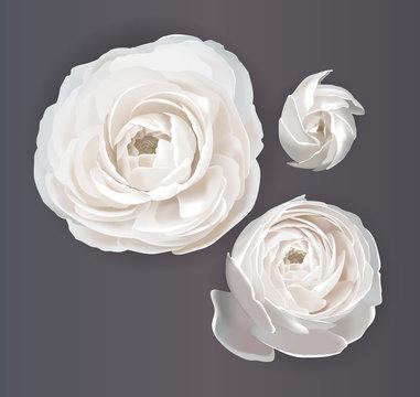 Ranunculus, flowers for your design