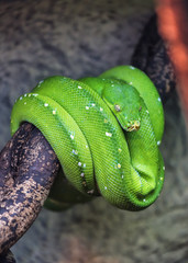 live green python