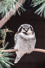 live hawk owl