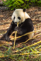 Giant panda sitting on the meadow busy eating bamboo chunks in a wildlife park