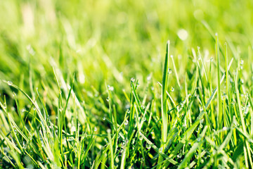 Young green grass with dew.