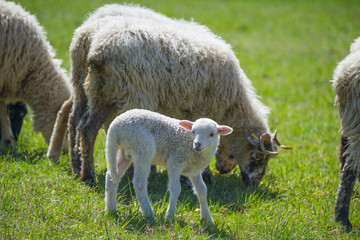 a little lamb with sheep flock on a spring meadow