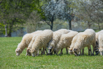 a flock of sheep on a spring meadow
