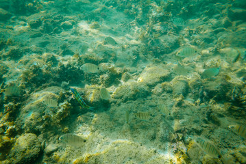 Few tropical fishes is swimming at green sea water.
