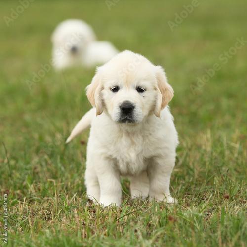 nice golden retriever puppy fotolia com の ストック写真と
