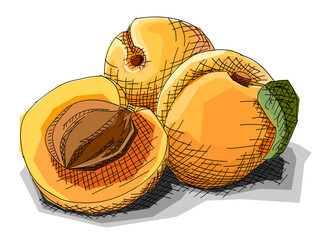 Vector illustration of drawing fruit apricots.