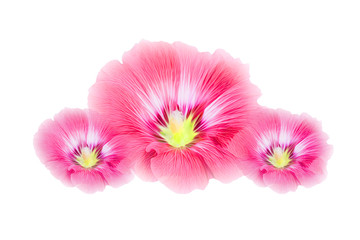 pink Hollyhocks flowers isolated on white background.(Soft focus ) with clipping path