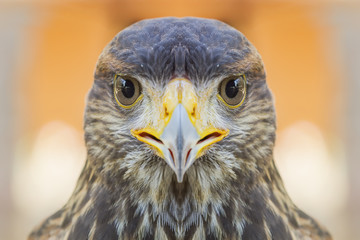 Eyes looking of the eagle