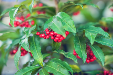 Ardisia Crenata ( Myrsinaceae ) plants small and bright red fruit