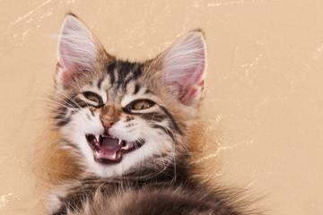 Kitten showing teeth
