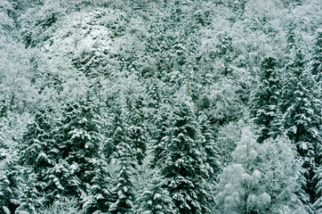 Forest of snowy white firs, Pyrenees, France