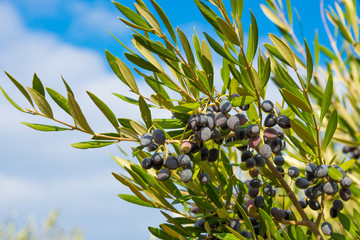Fresh olives growing on tree in Greece