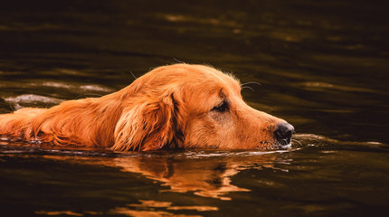 One Golden Retriever dog swimming on the water of a lake with just the head out of the water for breathing.
