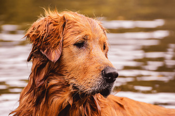 Portrait of a Golden Retriever dog free, on the outdoors (nature scene) on the water of a lake.