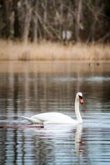 Schwan auf einem Teich