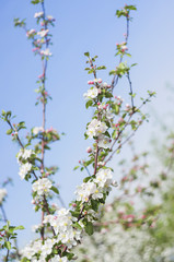 Photo of a beautiful pear blossom. Selective focus.