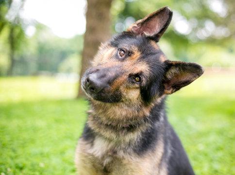A friendly German Shepherd dog listening with a head tilt