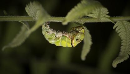Bruco di Papilio troilus
