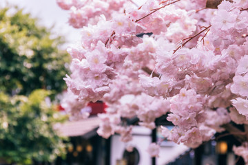 Close up of Pink Cherry Blossoms or known as Sakura in Japanese with Japanese old tourist town in background.