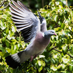 Common Wood Pigeon, Wood Pigeon, Columba palumbus