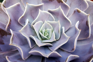 Pattern and abstract of succulent flower