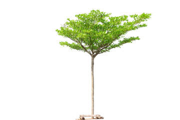 Tree isolated,Di-cut tree white background and clipping path