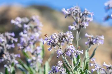 Purple wildflowers macro in spring bloom in California desert