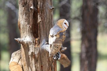 North America, United States, Oregon, Eastern Oregon, Bend. Barn owl (Tyto alba). Captive.