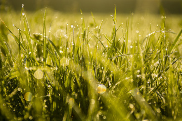 Green Grass with water drops, early in the morning, sun glare on Grass