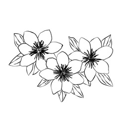 Beautiful clematis black white isolated sketch