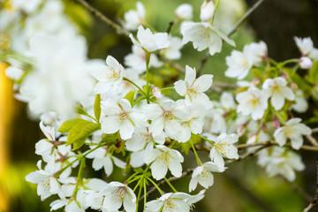 White Cherry blossom Tree in April