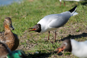 Adult Black-headed Gull in summer (alternate) plumage displaying the forward posture with open mouth. Demonstration of aggression and willingness to attack