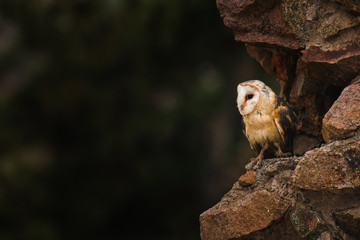 Barn owl, Tyto alba sitting on a wall. Beautiful night predator on ruins of old castle. Evening scene with mysterious bird of prey. Hunting owl, beautiful lighting, golden hour, stones.