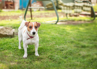 A small dog Jack Russell Terrier standing on green grass in yard at summer sunny day. Terrier dog unleashed outdoor.