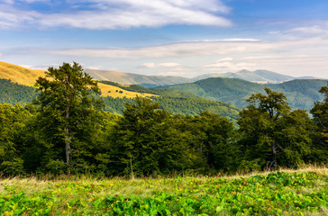 beech forest of the Svydovets mountain ridge. beautiful summer landscape of Carpathians, Ukraine