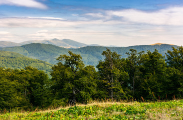 beech forest of Carpathian mountains in afternoon. lovely nature scenery in summertime. Svydovets mountain ridge in the distance under the cloudy sky