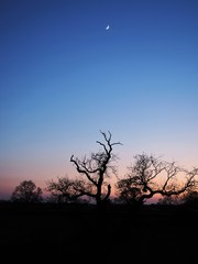Bare winter trees silhouetted against a pink glow and clear blue sky with a crescent moon, Yorkshire, England