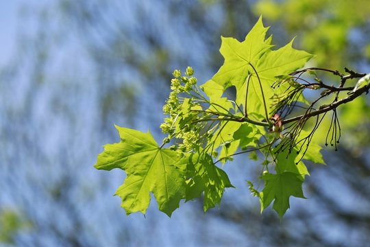 Acer platanoides, young fresh leaves of maple, transparent, backlit by sun, springtime, on a sunny day, blue sky, blurry background, copy space
