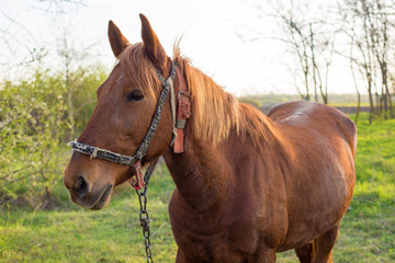 Beautiful horse grazing in a meadow, Portrait of a brown horse