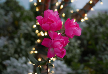 Pink flowers in front of strings of light
