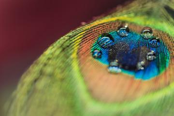 孔雀の羽についた水滴