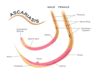 roundworms parasites .  ascariasis vector / male and female worm infographic vector graphic