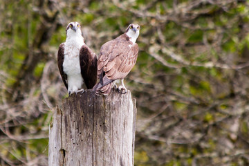 Ospreys Perched on a Piling