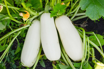 Zucchini in the garden on a summer day